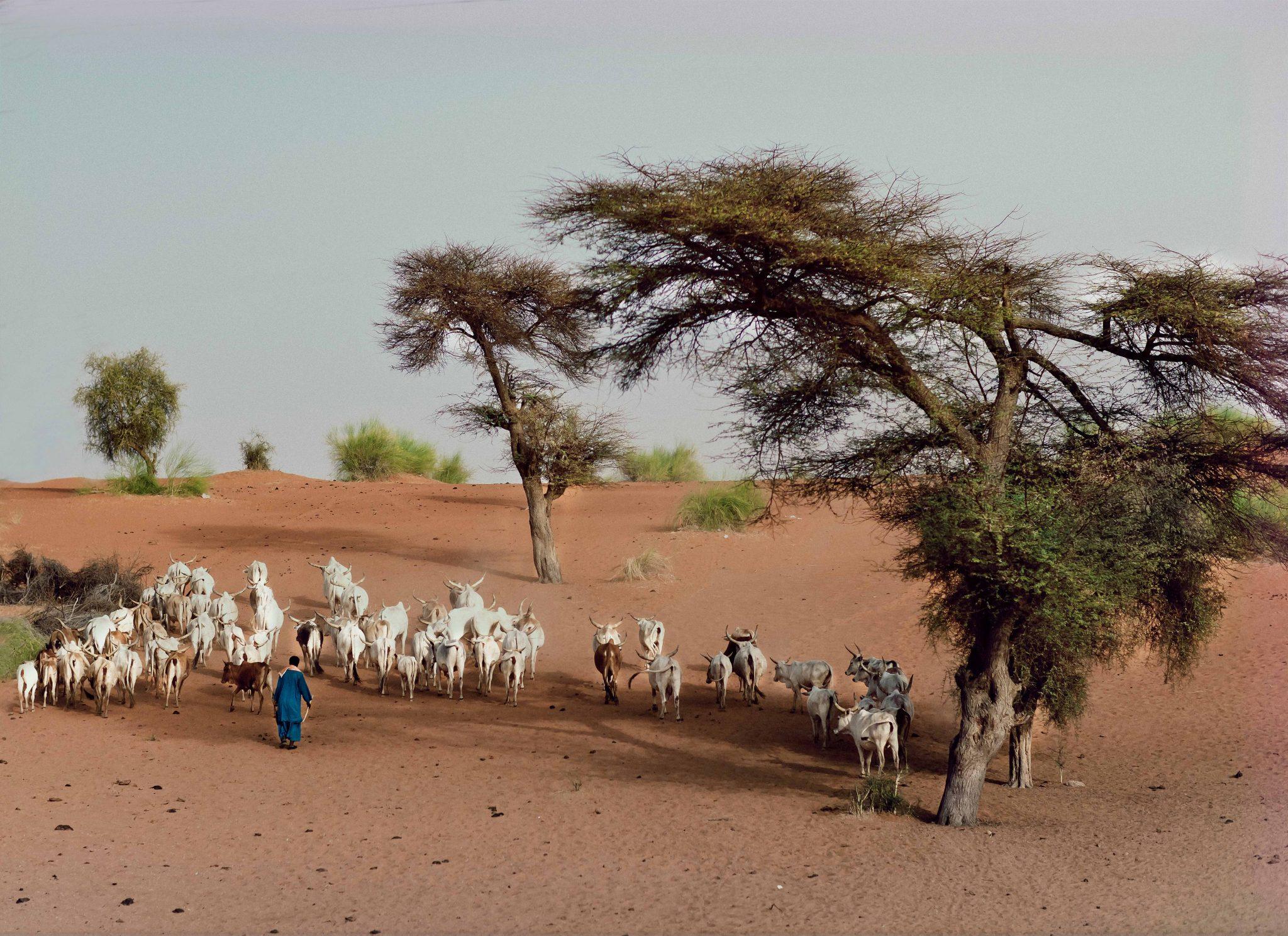 Cattle, Raphael, Senegal